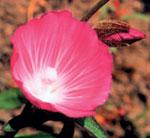 MALLOW (MAUVE)   Fleurs de Californie, recommandée pour : repli sur soi par insécurité, peur de vieillir, perte d'audition, de mémoire, d'attention.